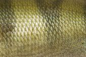 close up view of a fish scale poster