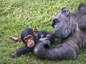 Chimpanzee mother playing with her baby, lying on the grass on the ground poster