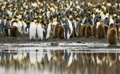A crowd of King Penguin adults and their chicks reflects of the calm waters in the foreground.**Note: slightly blurry  best at small sizes poster
