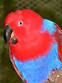 female eclectus parrot poster