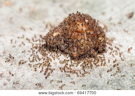 Close up of red imported fire ants eating meat poster