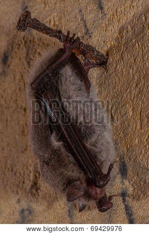 A hibernating bat found in an underground limestone quarry poster