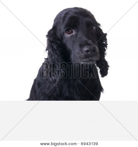 Sad Cocker Spaniel Dog above white banner. Add your text underneath. poster