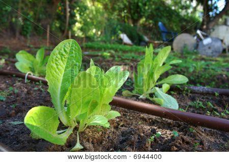 Growing lettuce plants in a home garden
