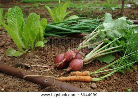 Groentetuin - gemengde vegtables