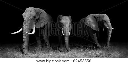 Elephants In Black And White