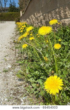 Dandelions growing beside a gravel track