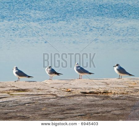 Black - headed gulls lined up on the dock.