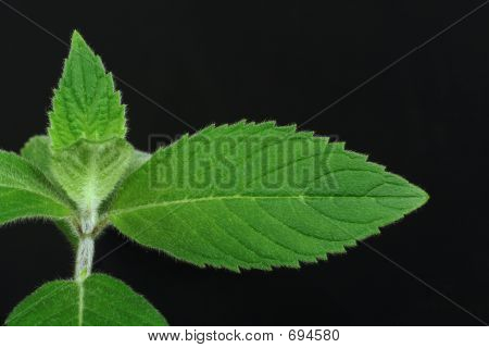 Mint (Mentha L.)