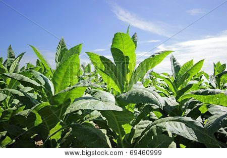 growing tobacco on a field