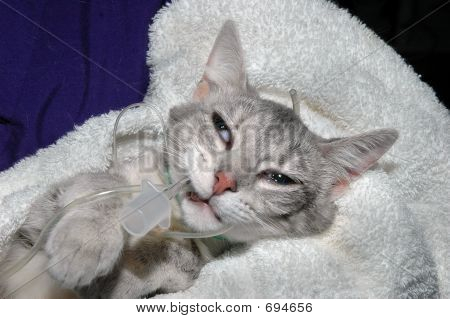Intubated Kitten