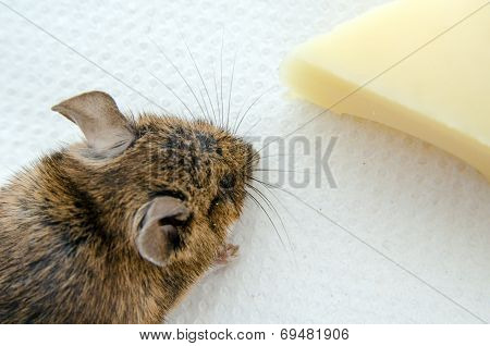 Mouse with cheese, overhead view