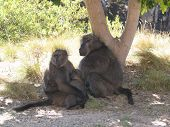 A family of primates gathers together under a tree poster