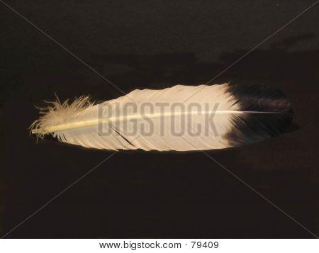 Eagle Feather On Black