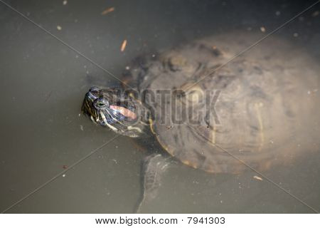 Red-eared Slider Turtle In Water