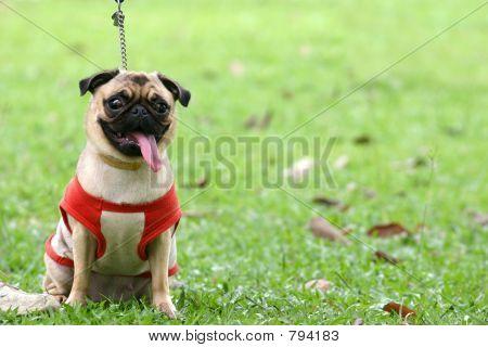 Pug on leash