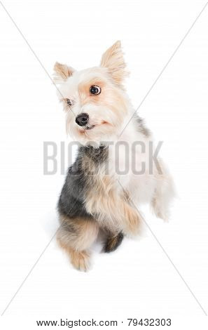 dog begging pardon isolated on white background poster