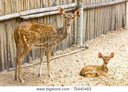 Mother and baby. Chital Cheetal Spotted deer or Axis deer in the zoo. poster
