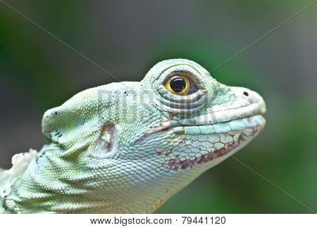 Portrait Of Green Basilisk Lizard.