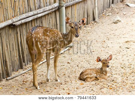Mother And Baby. Chital, Cheetal, Spotted Deer Or Axis Deer In The Zoo.