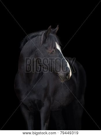 Black horse head close up, on black background, isolated.