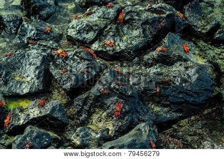 red crabs walking on rocks