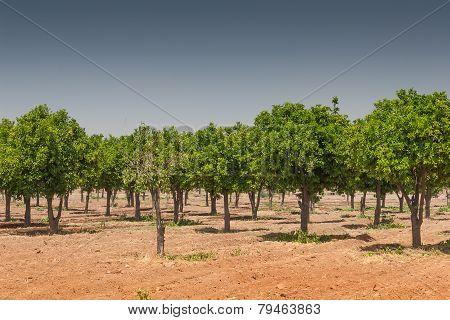 Orange trees with fresh fruits - Citrus sinensis poster