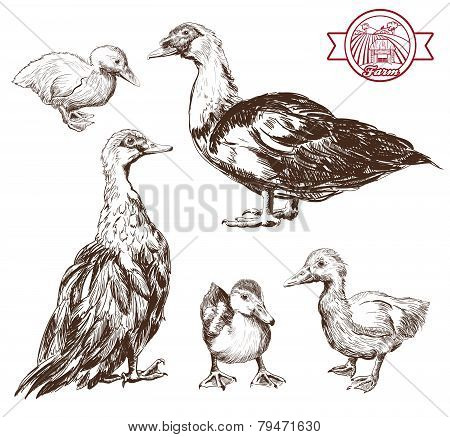 breeding ducks