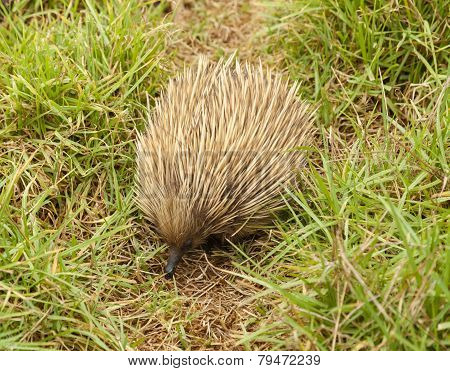 Echidna In The Bush