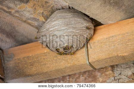 Wasp's nest below asbestos roof