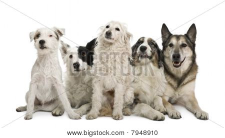 Two mixed-breeds border collie Australian shepherd parson russel terrier in front of white background poster