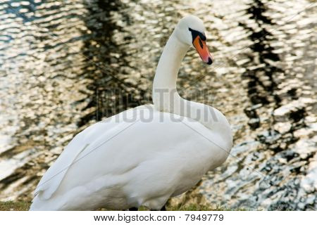 White Swan On Pond