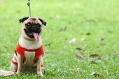Pug strangled by leash in a green field for obedience training poster
