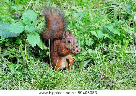 Squirrel gnaws walnut.