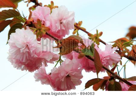 Branches Of Pink