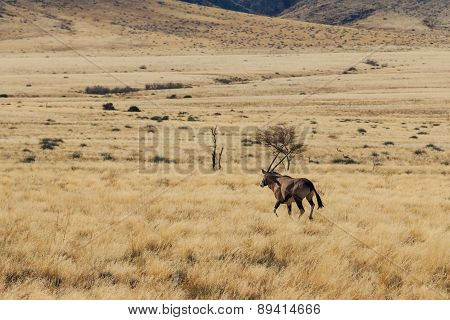 Gemsbok Or Gemsbuck Oryx Walking In Field