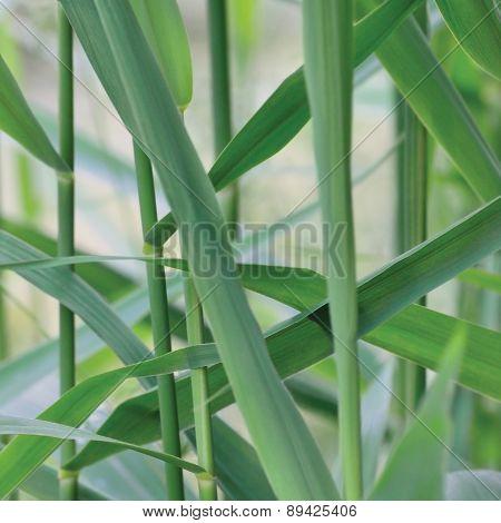 Common Reed Phragmites Leaf, Australis Cav. P. Communis Trin. Ex Steud. Japonicus Leaves, Grass-like