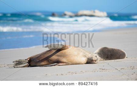 Sea Lions at Seal Bay, Kangaroo Island