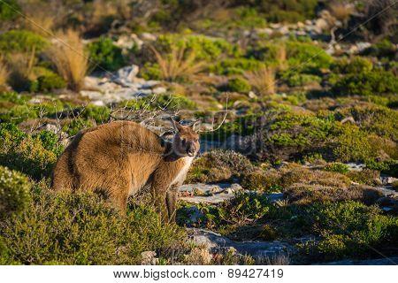 Kangaroo on Kangaroo Island, South Australia