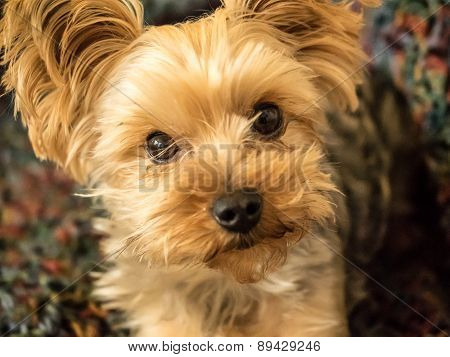 Cute Yorkie Looking at Camera