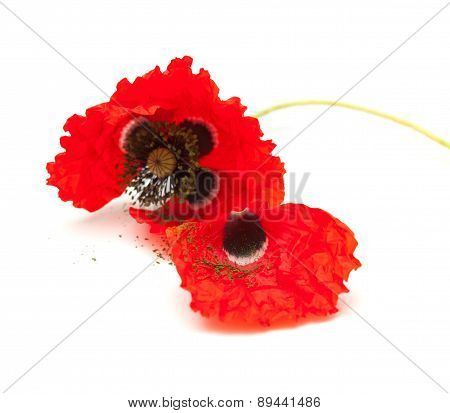 wilting red poppy isolated on white background focus on the loose petal poster