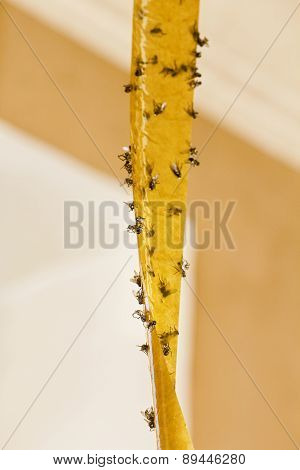 Flies On Sticky Tape