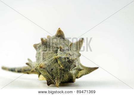 Market Bolinus Brandaris, An Edible Marine Gastropod Mollusk
