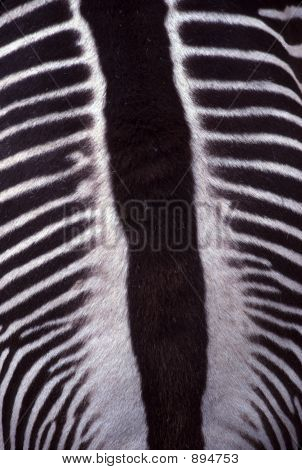 Zebra Stripes Closeup