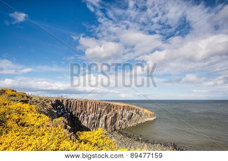 Gorse At Cullernose Point