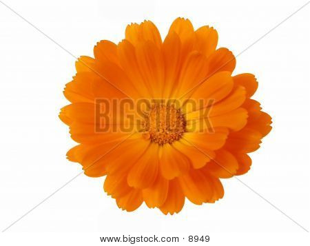 Flowerhead Orange