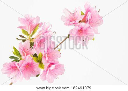 Pastel Pink Flower Cluster