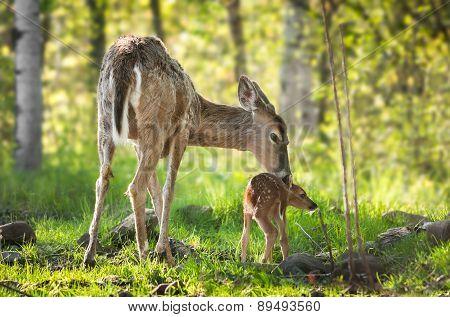 White-tailed Deer (odocoileus Virginianus) Fawn Resists Bath