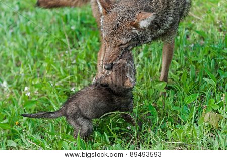 Adult Coyote (canis Latrans) And Pup At Play