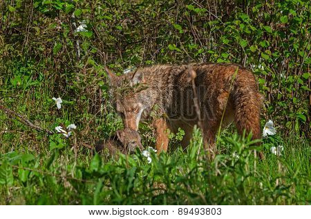 Adult Coyote (canis Latrans) And Pup Share A Moment